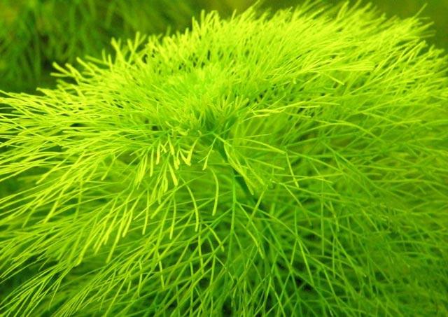 Limnofila wodna – Limnophila aquatica