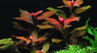 Ludwigia Repens - roślina akwariowa fot.extraplant.com