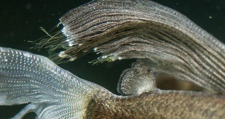 Martwica płetw - choroba ryb akwariowych
