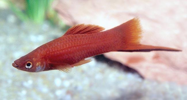 Mieczyk Hellera - ryba akwariowa fot.Mieczyk Hellera - ryba akwariowa fot.outbackimages.fr
