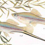 Mieczyki - ryby akwariowe, płeć, samiec samica