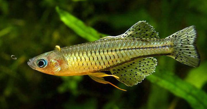 Pseudomugil gertrudae - tęczanka fot.flickr by Peter M4