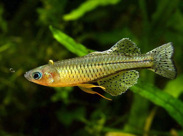 Modrook Gertrudy - ryba akwariowa