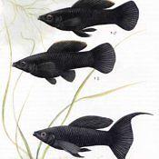 Molinezja Ostrousta - ryba akwariowa - samiec, samica