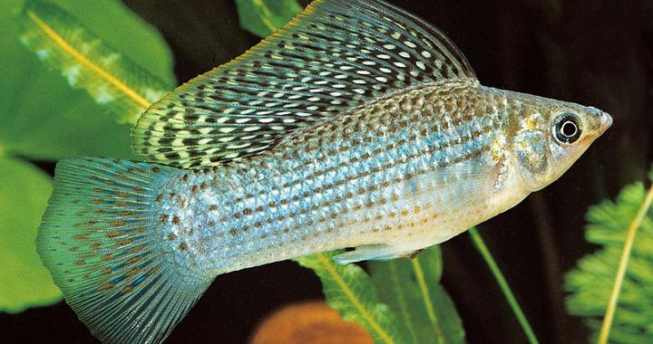 Molinezja żaglopłetwa - ryba akwariowa fot. tfhmagazine.com
