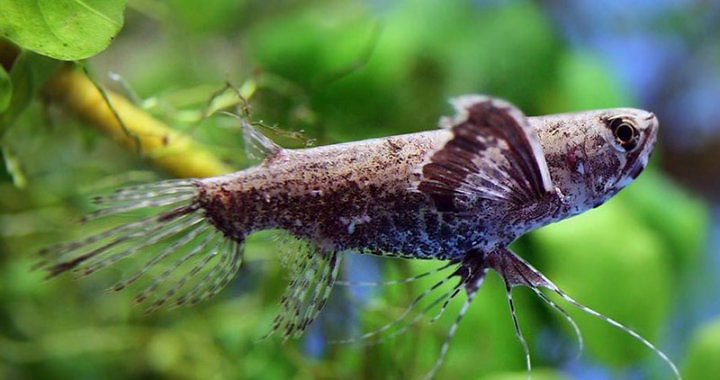 Motylowiec (Pantodon buchholzi) - ryba akwariowa fot. animalreader.ru