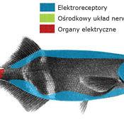 Trąbonos - umiejscowienie narządów elektronawigacji i elektrolokacji
