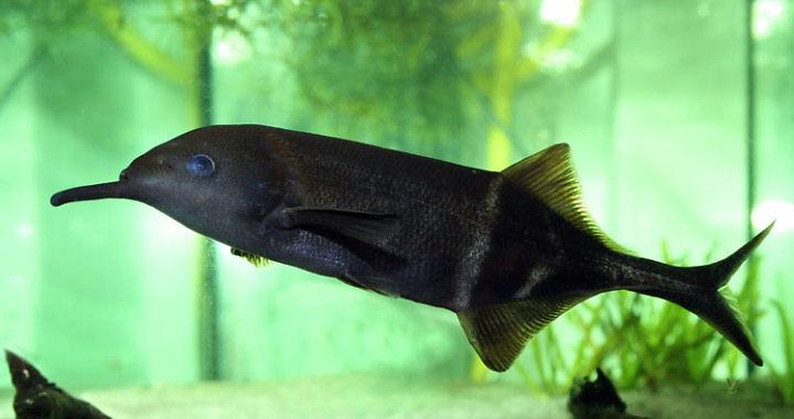 Mruk Petersa - ryba akwariowa fot. fsbio-hannover.de