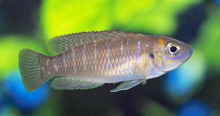 Muszlowiec krótki (brevis) - ryba akwariowa fot. flickr by avronaut
