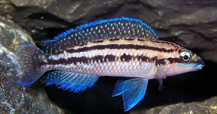 Naskalnik dickfelda (Julidochromis dickfeldi) fot. riftlakecichlids.forumotion.com