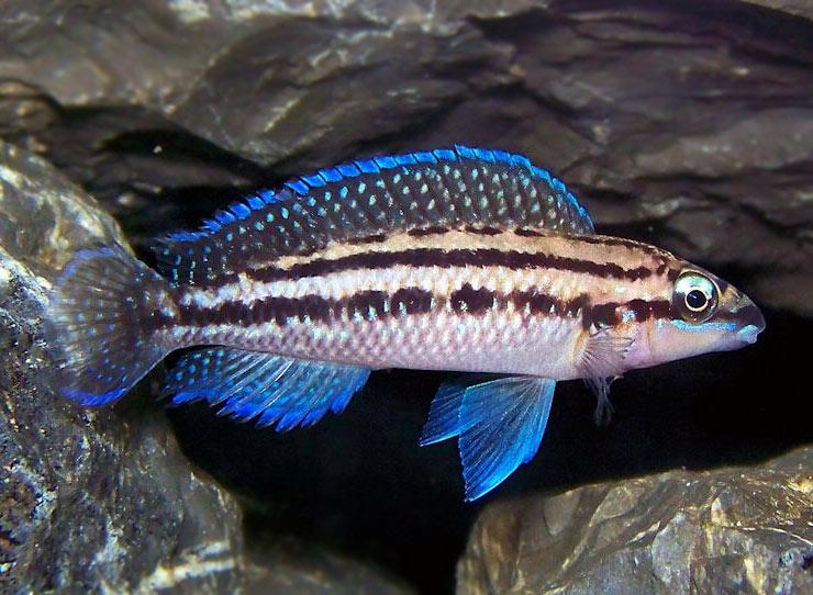 Naskalnik dickfelda - ryba akwariowa