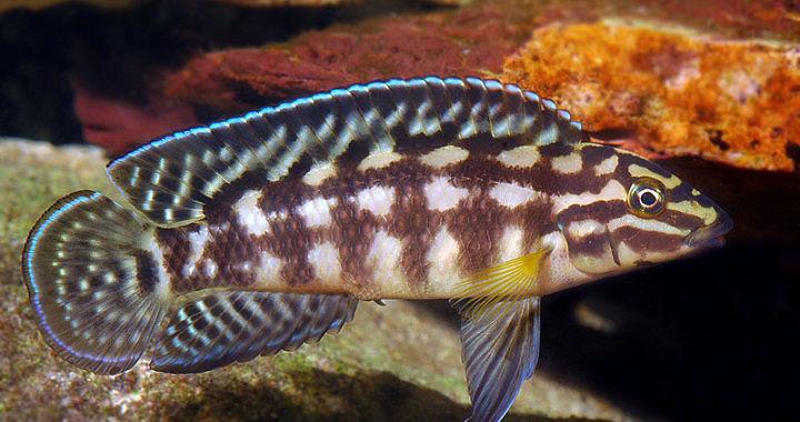 Naskalnik Marliera (Julidochromis marlieri) fot. galleryhip.com