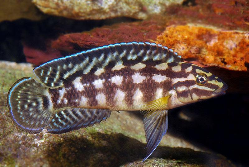 Naskalnik Marliera - ryba akwariowa