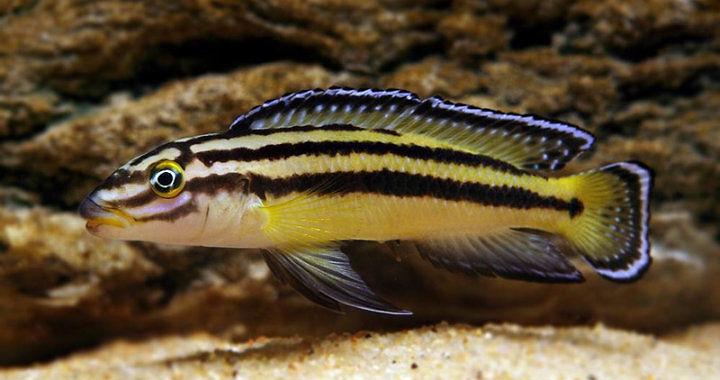 Naskalnik Regana (Julidochromis - Kipili) fot. pisces-il.com