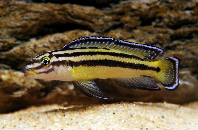 Naskalnik Regana - ryba akwariowa