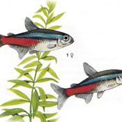 Neon Innesa - ryba akwariowa, płeć