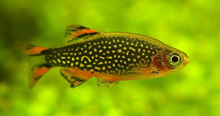 Razbora galaxy - Danio margaritatus fot. rybyakwariowe.eu