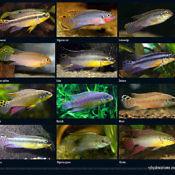 Barwniak szmaragdowy odmiany - forms of Pelvicachromis taeniatus