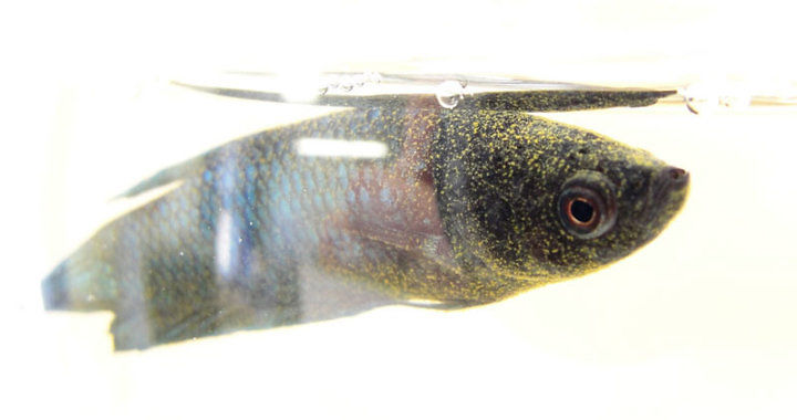 Oodinoza - choroba ryb akwariowych fot. flickr by TheLittleMiss