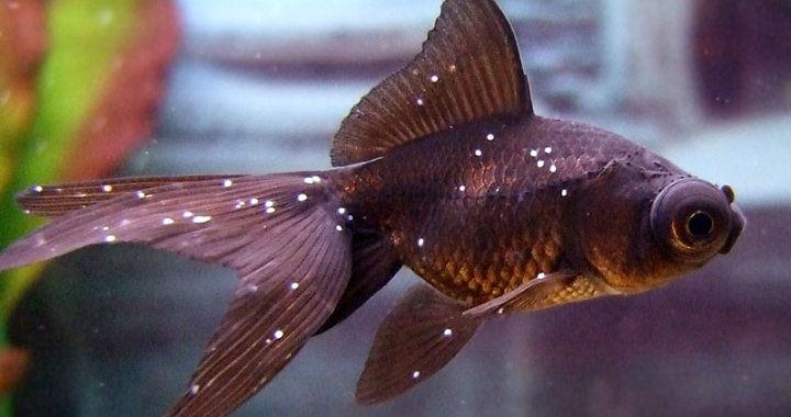 Ospa rybia - Ichtioftirioza - choroba ryb akwariowych fot. flickr by FJP