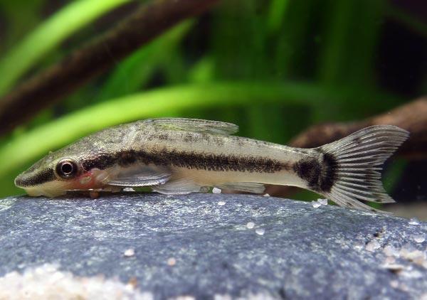Otosek Przyujściowy - ryba akwariowa - otoski
