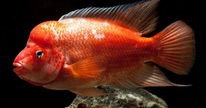Pielęgnica cytrynowa - ryba akwariowa fot. minnfish.com/forum