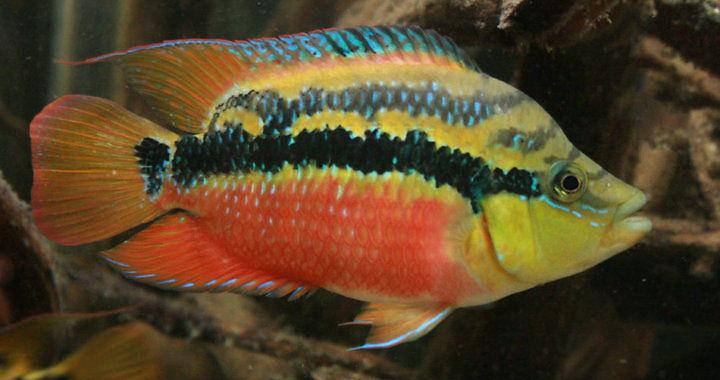 Pielęgnica diamentowa - ryba akwariowa fot. flickr by Remy GOFORUS