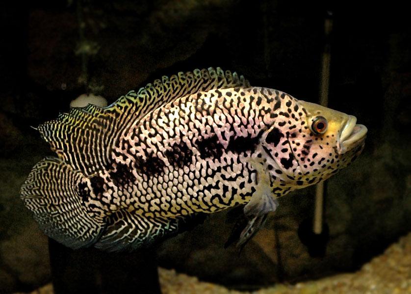 Pielęgnica managuańska - Parachromis managuensis