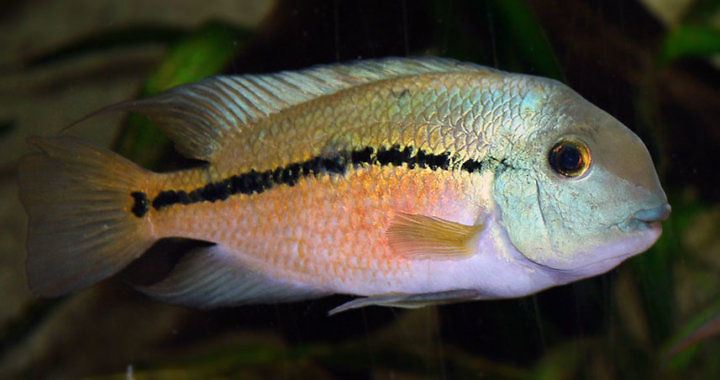 Pielegnica nikaraguanska - ryba akwariowa fot. flickr by Cameron_hf