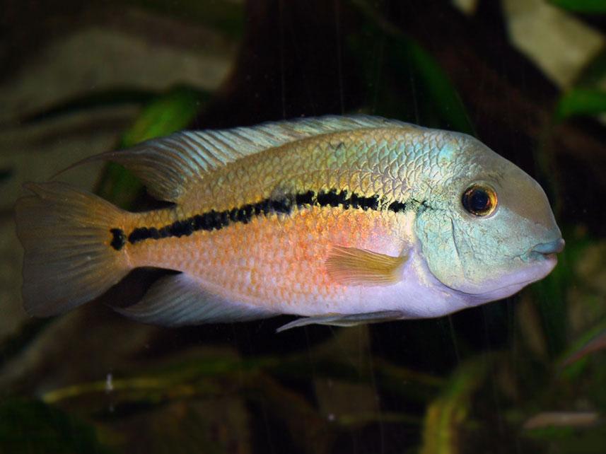 Pielegnica nikaraguanska - Hypsophrys nicaraguensis
