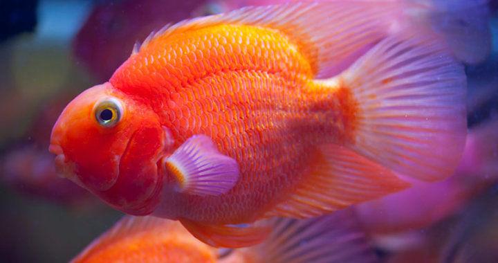 Pielęgnica papuzia - ryba akwariowa fot. flickr by DigiPub