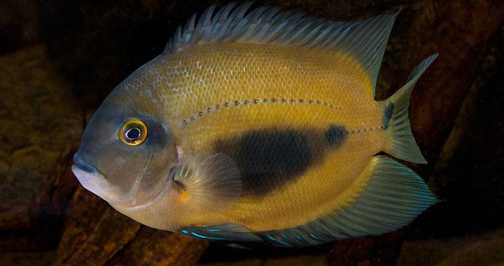 Pielęgnica Uaru - ryba akwariowa fot. aquainfo.org by J. de Lange