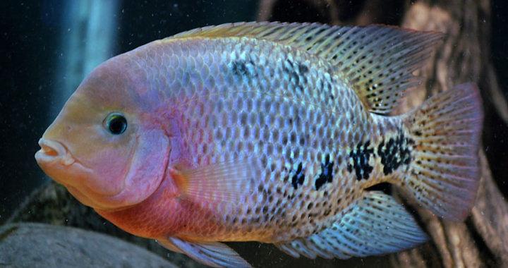 Pielęgnica wielobarwna - ryba akwariowa fot. cichlids.com