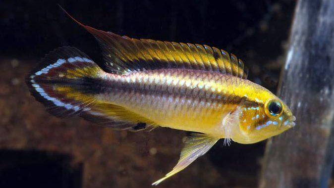 Pielęgniczka Agassiza - ryba akwariowa fot.seriouslyfish.com
