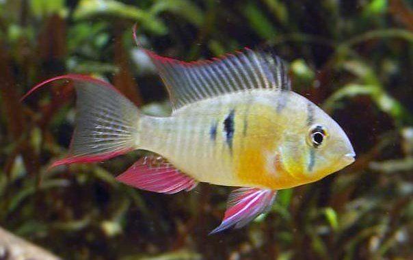 Pielęgniczka Boliwijska - ryba akwariowa fot.aqua-freshwater.blogspot.com