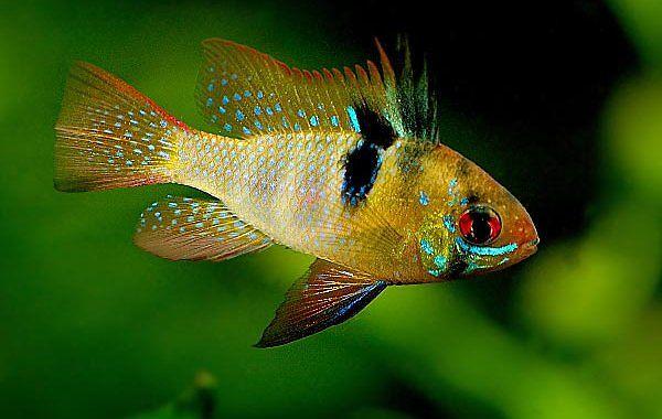 Pielęgniczka Ramireza - ryba akwariowa