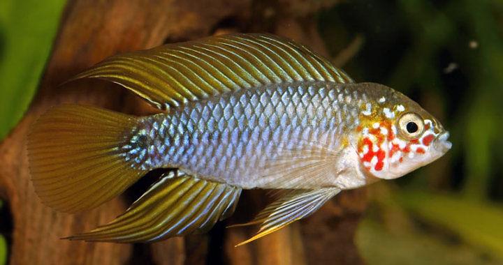 """Pielęgniczka żółta """"Opal"""" - ryba akwariowa fot. akvakertesz.hu"""