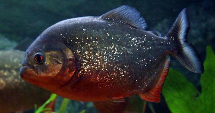 Pirania czerwona - ryba akwariowa fot.piranhas-fr.net