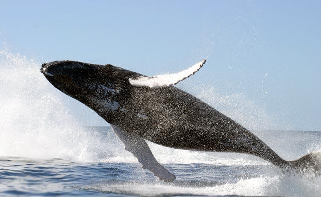Płetwal Błękitny - Płetwale Błękitne