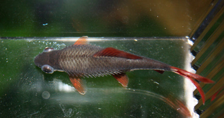 Posocznica - choroba ryb akwariowych fot. flickr by Pumpkin45