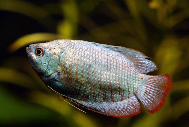 Prętnik Karłowaty - Prętniki Karłowate - ryby