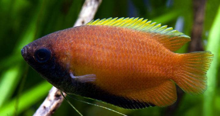 Prętnik trójbarwny - ryba akwariowa fot. flickr by J. Picard
