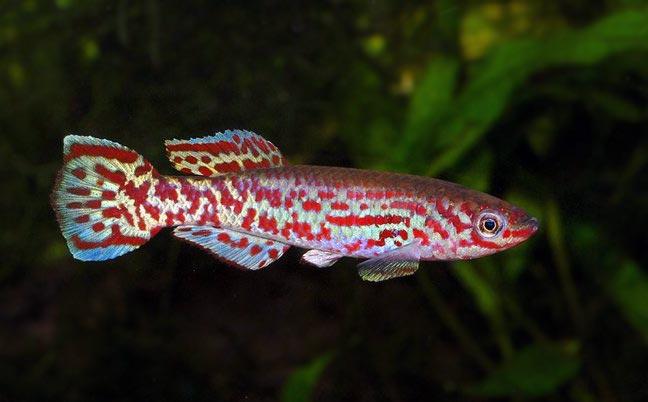 Proporczykowiec Gardnera - ryba akwariowa - Proporczykowce