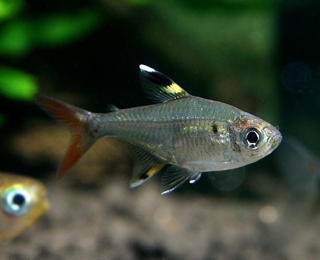 Prystelka Barwna - Prystelki Barwne - ryby
