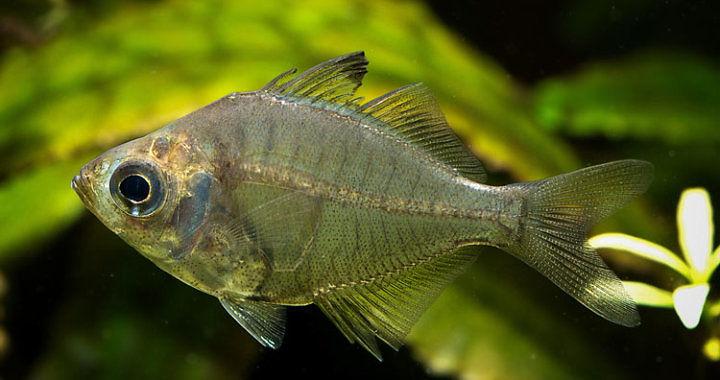 Przeźroczka indyjska - ryba akwariowa fot. flickr by Ganzalo Peix