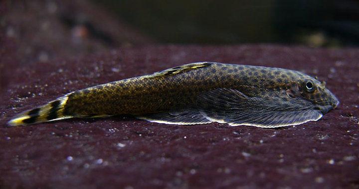 Przylga chińska (Beaufortia kweichowensis) - ryba akwariowa fot. ciclideos.com