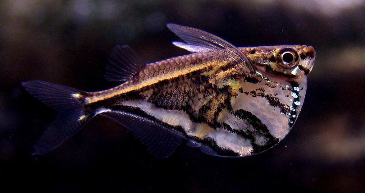 Pstrążenica marmurkowa - ryba akwariowa fot. www.akva.sk