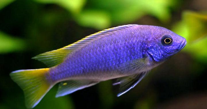 "Pyszczak acei ""Msuli"" - ryba akwariowa fot. cichlidsroombg.wordpress.com"