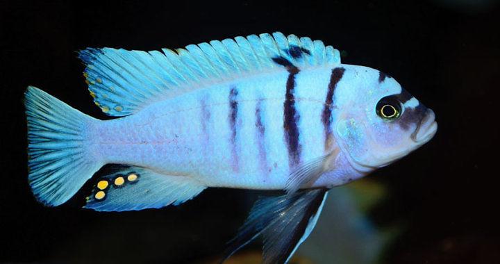 Pyszczak afra hara - ryba akwariowa fot. flickr by Popa Mircea