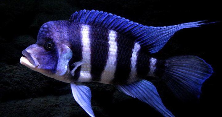 Pyszczak hełmiasty - ryba akwariowa fot. mohammadi4849.blogfa.com